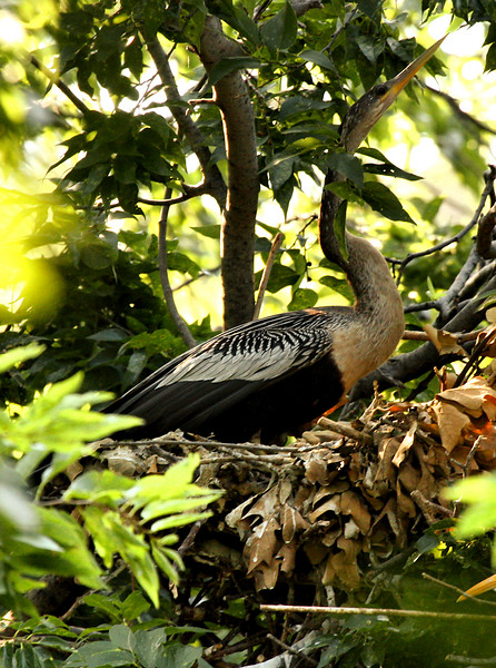 An anhinga (a.k.a. water turkey or snakebird; Anhinga anhinga) on its nest (2009_06_13_023050)