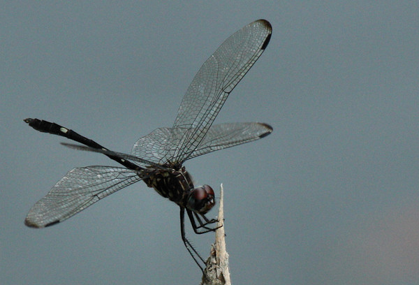 A male swift setwing (Dythemis velox) perched on a twig (2009_06_21_024578)