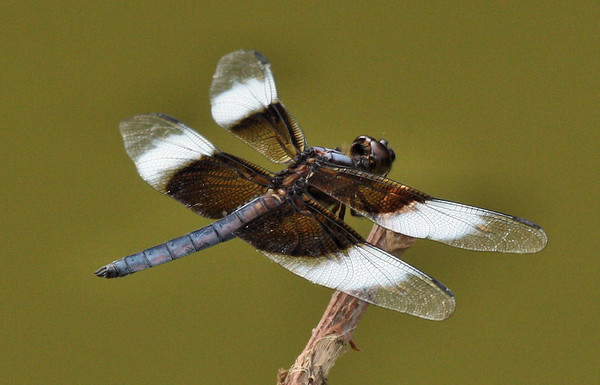 A male widow skimmer (a.k.a. widow; Libellula luctuosa) perched on a twig (2009_06_14_023531)