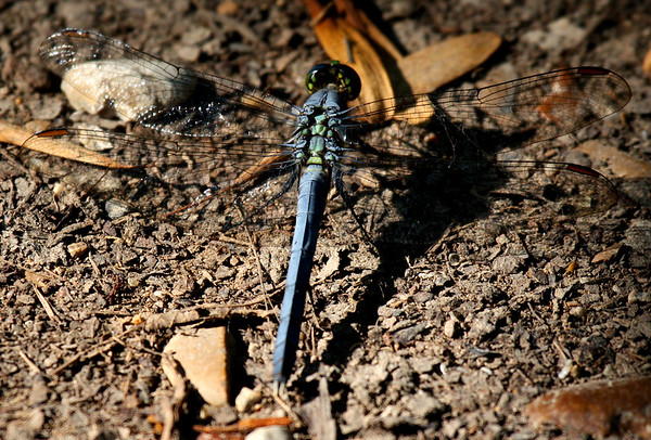 A male eastern pondhawk (a.k.a. common pondhawk or green jacket; Erythemis simplicicollis) resting on the ground (2009_06_07_022710)
