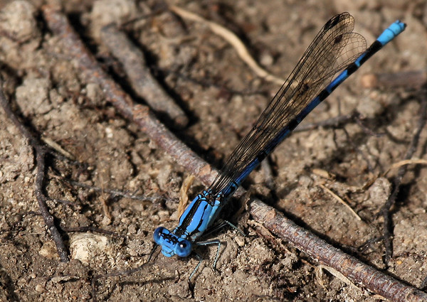 A springwater dancer (Argia plana) resting on the ground (2009_06_14_023408)