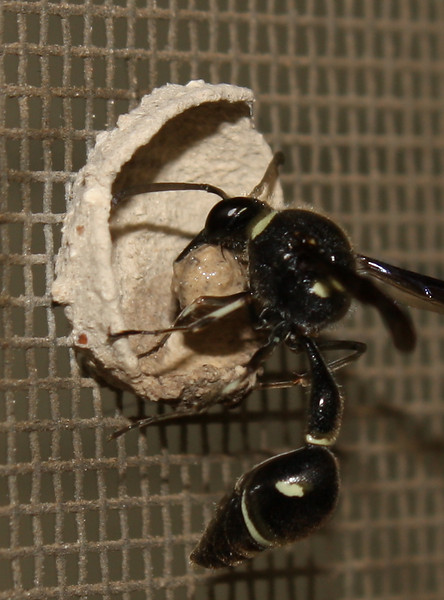 A female common potter wasp (a.k.a. dirt dauber; Eumenes fraternus) building a nest (2009_05_07_018503)
