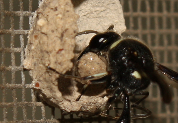 A female common potter wasp (a.k.a. dirt dauber; Eumenes fraternus) building a nest (2009_05_07_018514)