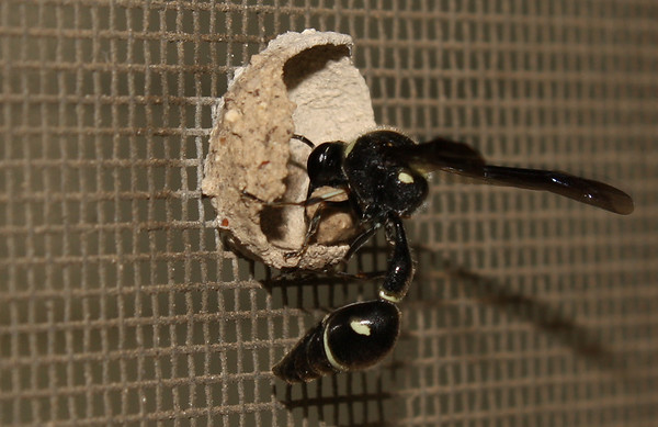 A female common potter wasp (a.k.a. dirt dauber; Eumenes fraternus) building a nest (2009_05_07_018516)