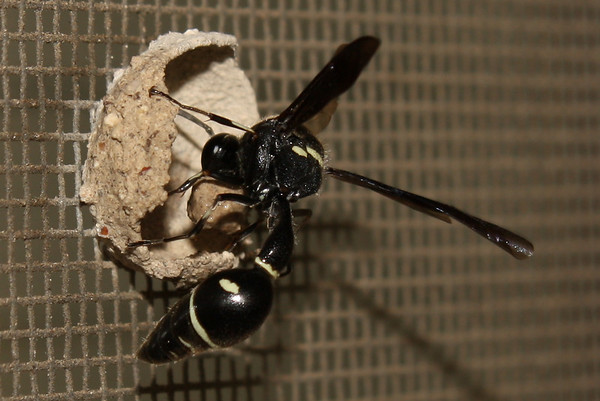 A female common potter wasp (a.k.a. dirt dauber; Eumenes fraternus) building a nest (2009_05_07_018517)