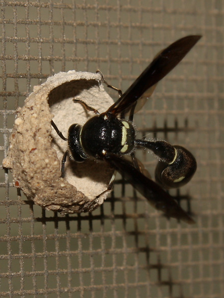 A female common potter wasp (a.k.a. dirt dauber; Eumenes fraternus) building a nest (2009_05_07_018531)