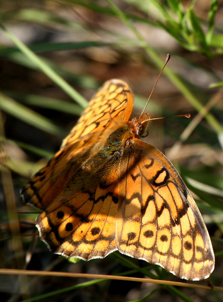 Variegated fritillary (Euptoieta claudia) in shadow and light (2009_06_07_022743)