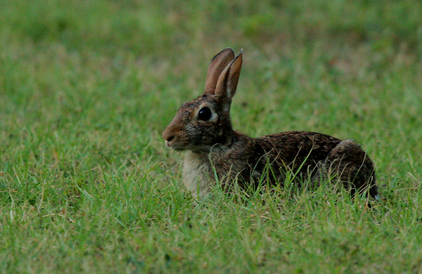Eastern cottontail (Sylvilagus floridanus) huddled in the grass after sunset (2009_07_06_026115)