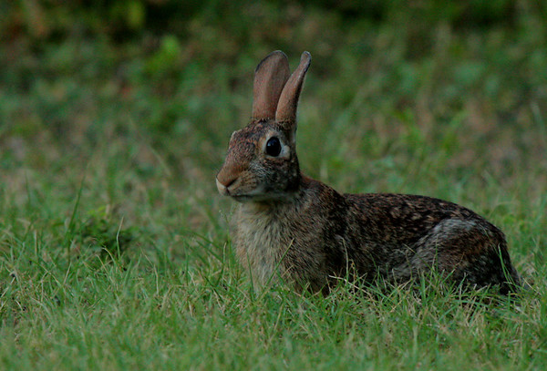 Eastern cottontail (Sylvilagus floridanus) sitting alert in the grass after sunset (2009_07_06_026125)