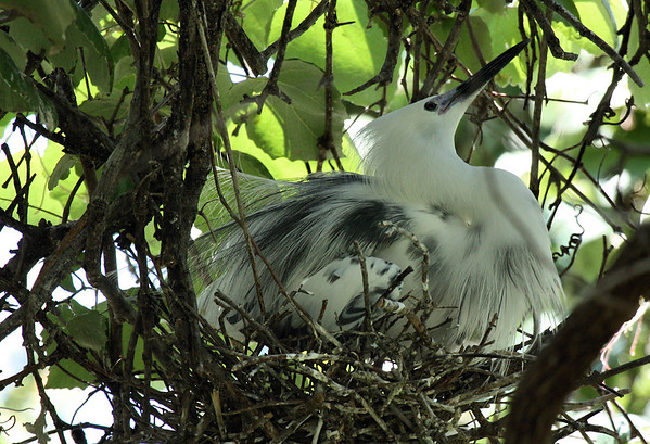 One-year-old little blue heron (Egretta caerulea) nesting for the first time as it transitions from the juvenile's all-white plumage to the adult's all-dark plumage (2009_05_17_019779)
