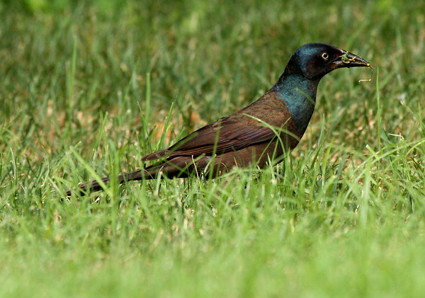 Male common grackle (Quiscalus quiscula) collecting insects for his chicks (2009_06_20_023983)