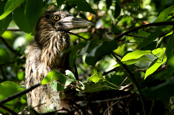 Recently fledged black-crowned night-heron (Nycticorax nycticorax) perched in a tree (2009_06_20_023813)