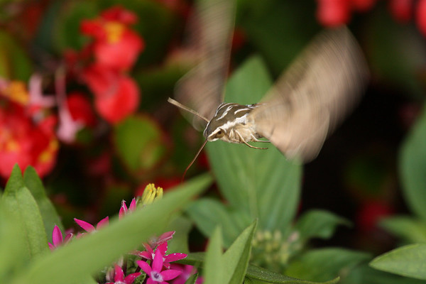 A white-lined sphinx (Hyles lineata) hovering over flowers as it feeds (2009_07_18_026911)
