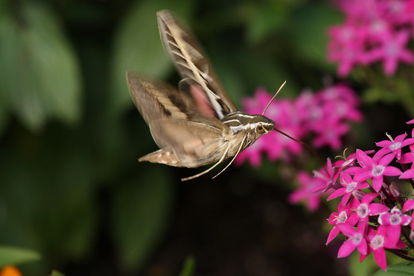 A white-lined sphinx (Hyles lineata) hovering over flowers as it feeds (2009_07_18_026958)