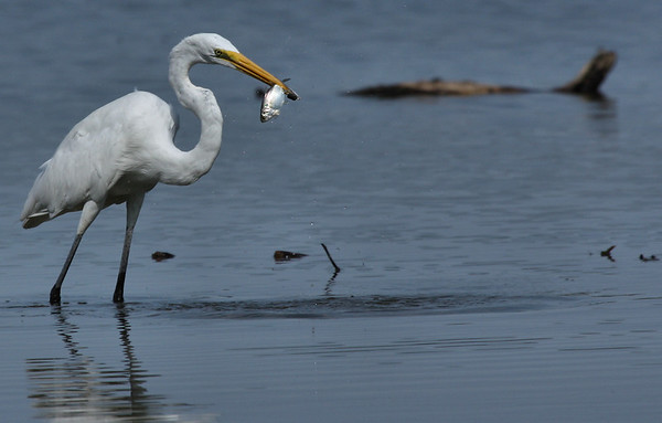 Great egret (Ardea alba) holding a fish (2009_07_18_027071)