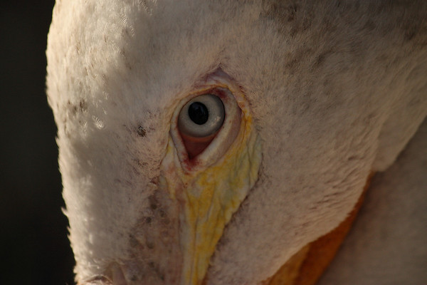 Close-up of an American white pelican (Pelecanus erythrorhynchos) (2009_07_04_025060)