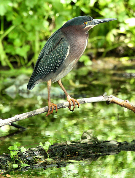 Green heron (Butorides virescens) perched on a branch over a pond (2009_04_19_016330)