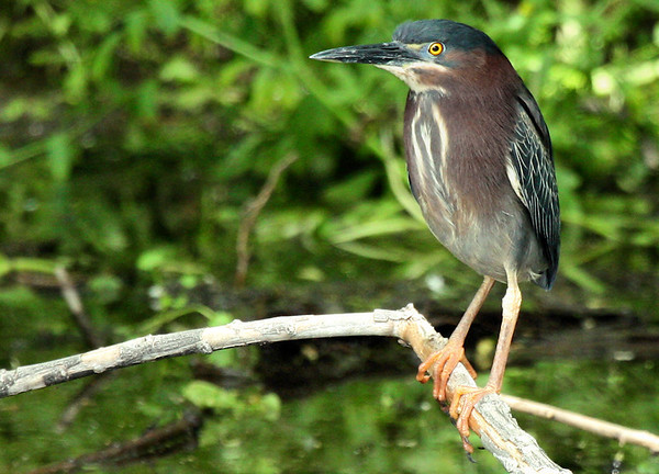 Green heron (Butorides virescens) perched on a branch over a pond (2009_04_19_016279)