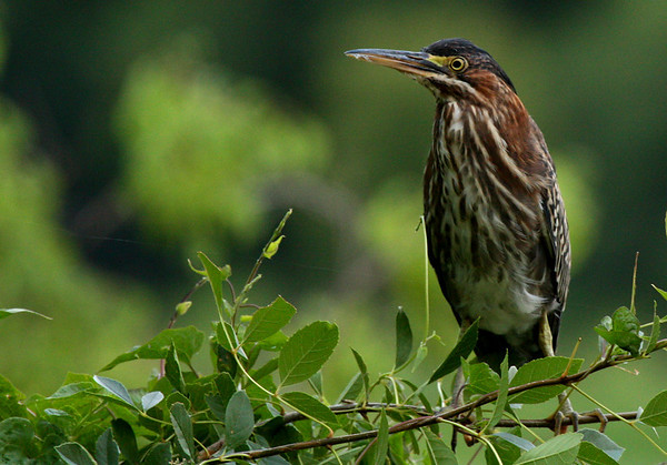Green heron (Butorides virescens) perched in a shrub (12375616)