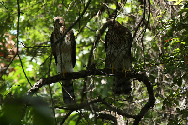 Two juvenile Cooper's hawks (Accipiter cooperii) perched beside each other on a branch (2009_07_25_027727)