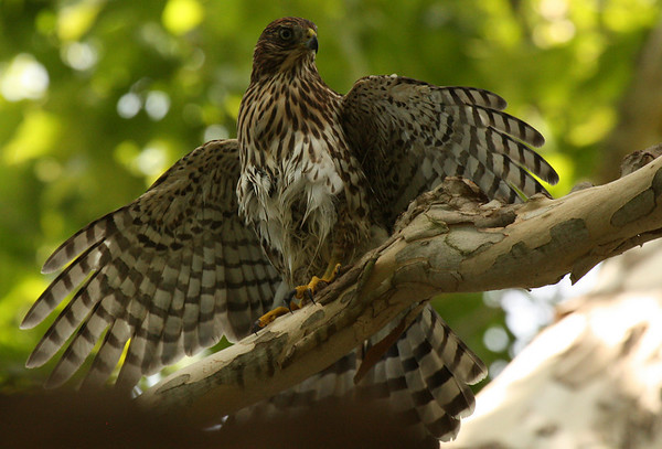 A juvenile Cooper's hawk (Accipiter cooperii) with its wings spread (2009_07_25_027757)