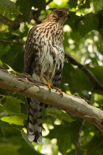 A juvenile Cooper's hawk (Accipiter cooperii) perched on a branch (2009_07_25_027767)