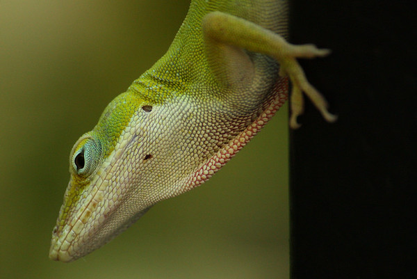 Close-up of a male green anole (Anolis carolinensis) (2009_07_07_026208)