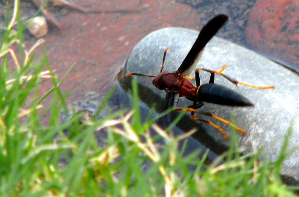 Paper wasp (Polistes annularis) perched on a rock (20080727_10231)