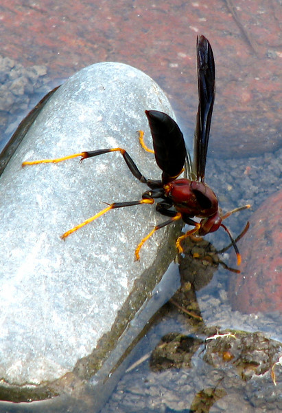 Paper wasp (Polistes annularis) perched on a rock while drinking from a small pond (20080727_10243)