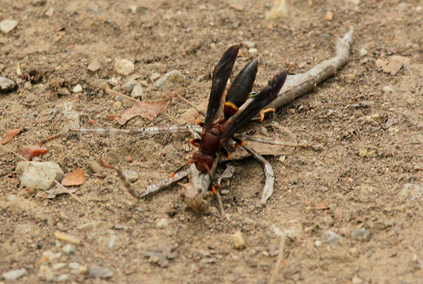 Paper wasp (Polistes annularis) dismembering a northern walking stick (Diapheromera femorata) (2009_07_26_027820)