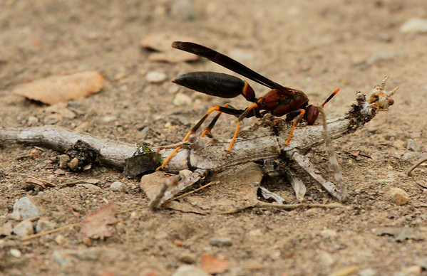 Paper wasp (Polistes annularis) dismembering a northern walking stick (Diapheromera femorata)(2009_07_26_027822)