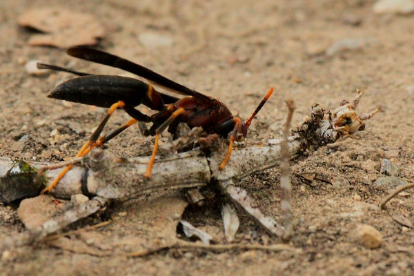 Paper wasp (Polistes annularis) dismembering a northern walking stick (Diapheromera femorata) (2009_07_26_027824)