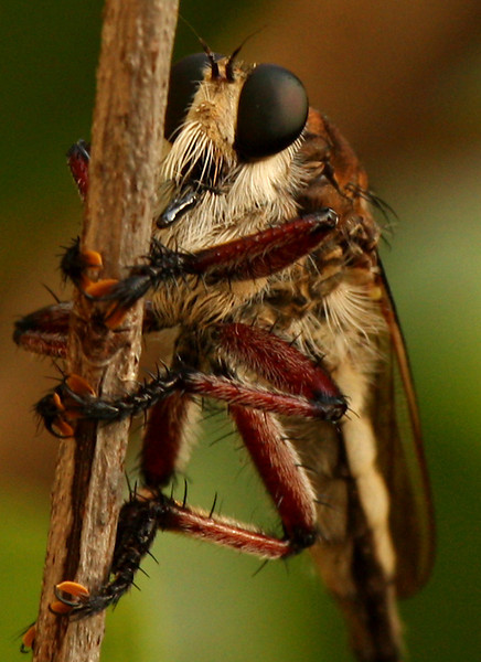 Close-up of a giant robber fly (Promachus hinei) perched in a bush (2009_07_24_027541)