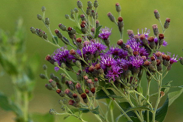 Western ironweed (a.k.a. Baldwin's ironweed; Verbesina baldwinii) (2009_07_09_026280)