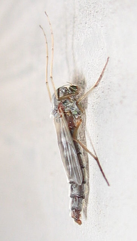 A female chironomid midge hanging on the patio wall (171_7181)