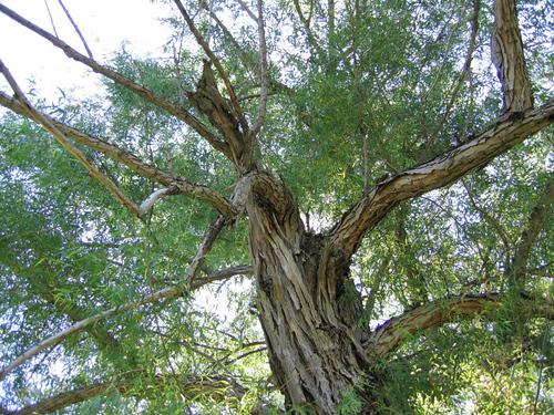 My favorite tree (146_4658)