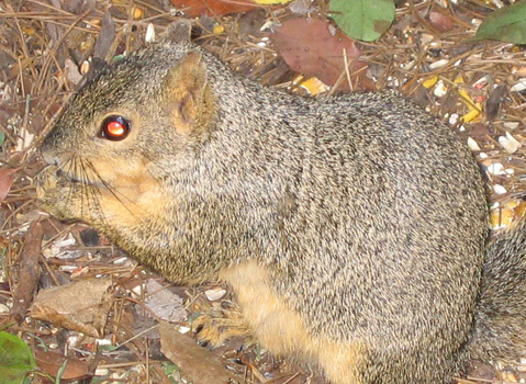 A close-up of an eastern fox squirrel (Sciurus niger) showing its amber-colored ocular reflectivity (150_5004)