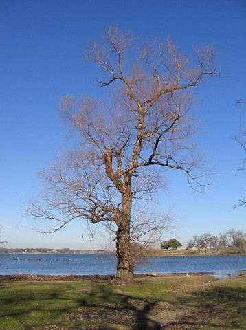 My favorite tree in its winter outfit with the lake in the background 164_6476)