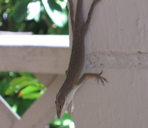 A female green anole (Anolis carolinensis) hanging on the patio wall (147_4721)