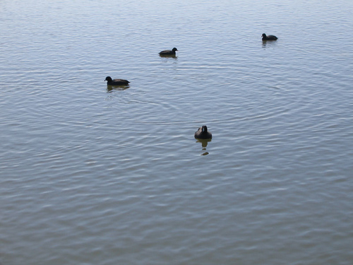 A handful of American coots (Fulica americana) enjoying a sunny afternoon in the water (169_6961)