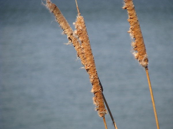 Southern cattail (Typha domingensis) giving in to a winter breeze on the shores of White Rock Lake (20080223_02128)
