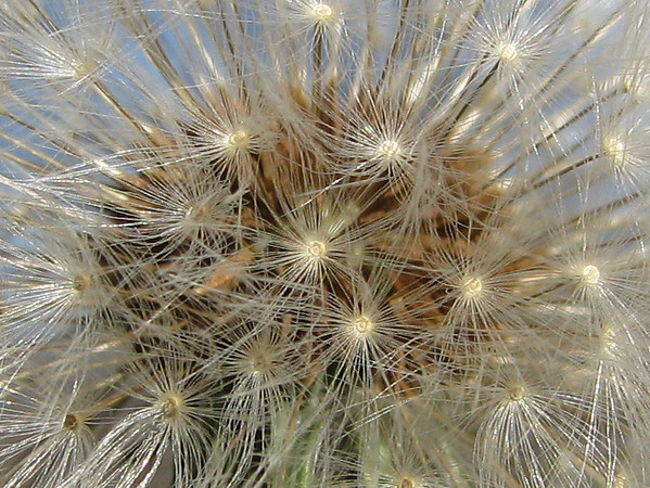 A close-up of a common dandelion (Taraxacum officinale) after it has gone to seed (20080114_01287_c)