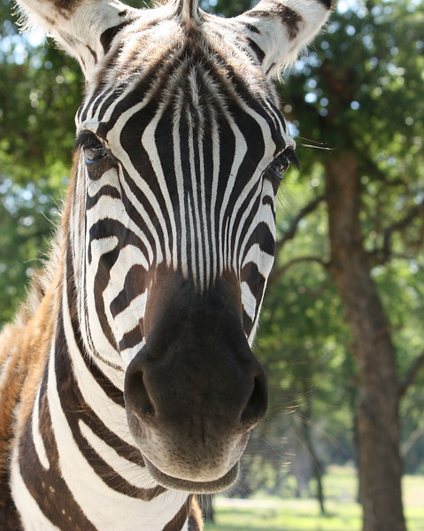 Close-up of a Grant's zebra (Equus quagga boehmi) (2009_05_22_020575)