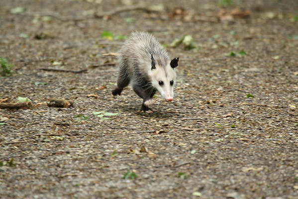 Virginia opossum (a.k.a. possum; Didelphis virginiana) running along a path (2009_04_19_016206)