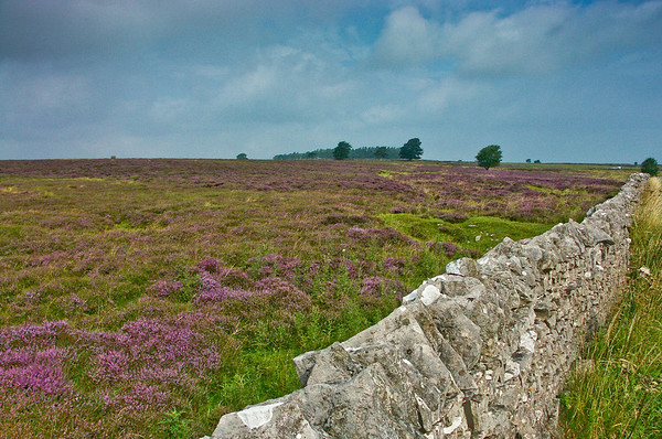 Heather on the Dales