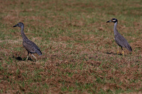 An adult and a juvenile yellow-crowned night-heron (Nyctanassa violacea) walking through a field (2009_08_15_028413)