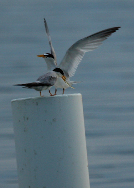 Interior least terns (Sterna antillarum athalassos) sharing a fish in courtship (2009_07_31_028175)