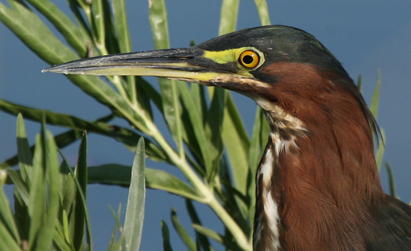 Close-up of a green heron (Butorides virescens) hunting along the shore (2009_08_22_028514)
