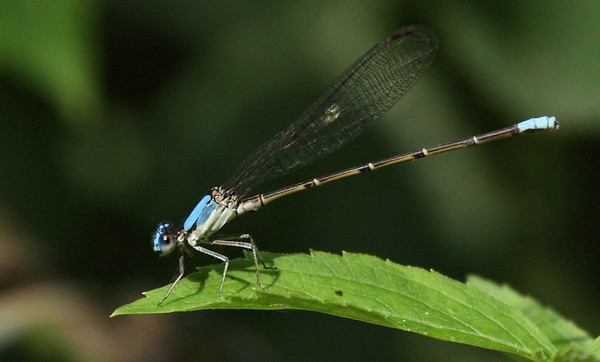Blue-fronted dancer (Argia apicalis) perched on a leaf (2009_07_25_027678)