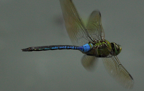 Common green darner (a.k.a. green darner or dragon fly; Anax junius) hovering over a creek (2009_08_15_028355)